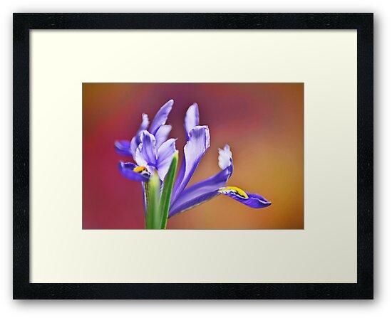 Iris  by Martina Fagan