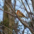 Robin by JenniferLouise