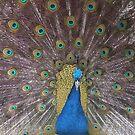 Peacock by JenniferLouise