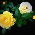 Yellow Rose 'Julia Child' by lindabeth