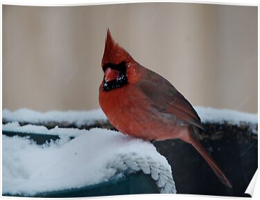 Cardinal in Snow by Barry Doherty