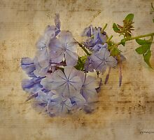 Plumbago with Texture by pennyswork