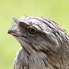 Tawny Frogmouth by Michelle Munday