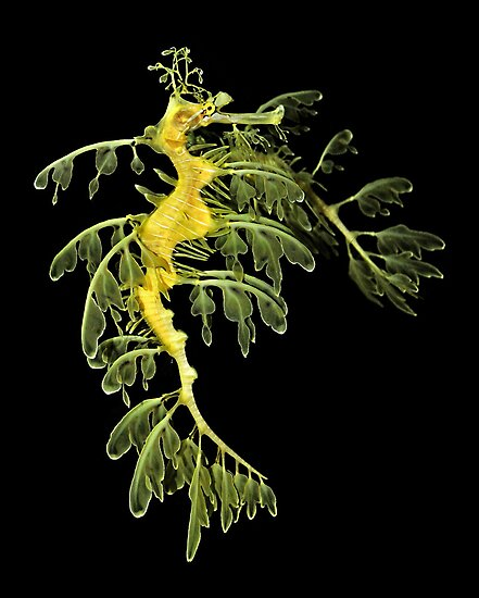 The Leafy Sea Dragon by Kathy Baccari