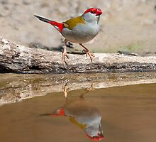 RED-BROWED FIRETAIL by DIZZYHEIGHTS