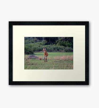 Bucking The Kob Trend Framed Print