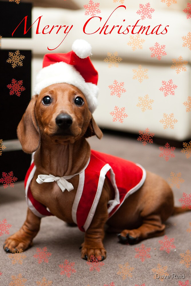 Merry Christmas Sausage Dog by Dave Reid