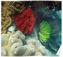 Red Coral and Feather Star Fish Poster