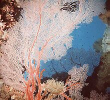 Gorgonian Fan Coral and Feather Star Fish by springs