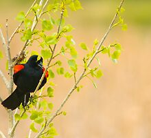 The Peekaboo Blackbird by John  De Bord Photography