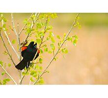 The Peekaboo Blackbird Photographic Print