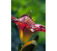 Red Day Lily in a Garden Photographic Print