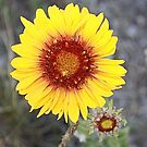 Blanket Flower (Gaillardia pulchella) by Leslie van de Ligt