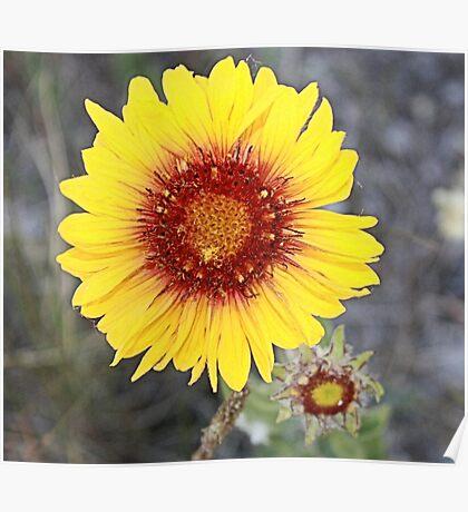 Blanket Flower (Gaillardia pulchella) Poster