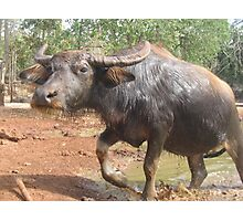Special Water Buffalo Photographic Print
