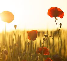 PEACH AND RED POPPIES - INNOCENCE by JoieDesigns