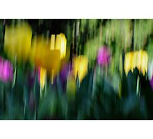 Tulips with movement Photographic Print