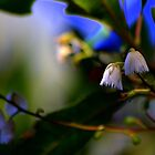 North Head Manly -  Nature's Bells by miroslava