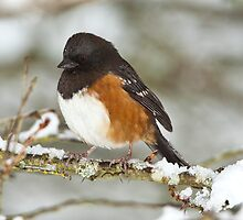 Spotted Towhee by Jim Stiles