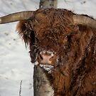 Scruffy Bull by JamesA1