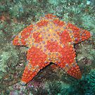 Star Fish by springs