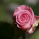 Pink Rose by Lennox George