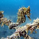 Just Hanging Around - Sea Horse by springs
