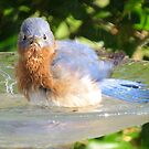 Bluebird Bathing by Caren