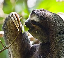 Furry Sloth by wwwildlife