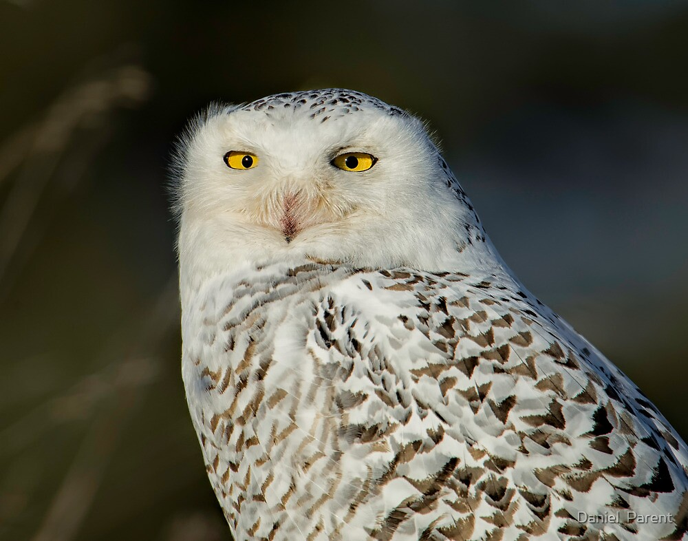 Snowy Owl - Amherst  by Daniel  Parent
