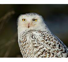 Snowy Owl - Amherst  Photographic Print