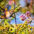 Rufous Hummingbird and Honeysuckle by Tom Talbott