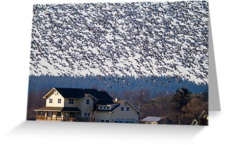 Skagit Valley Snow Geese by Tom Talbott