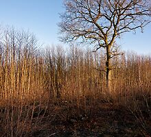 Kings Wood by Gary Rayner