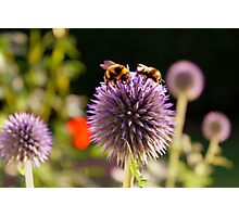 Bumbling Bees Photographic Print