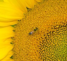 sunflower and bee by capellincolti