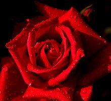 Red Rose by Ross Buchanan