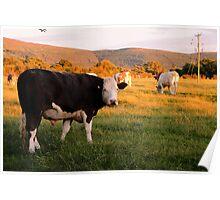 Carlton Cows Poster