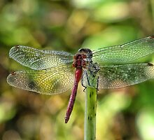 Showing off, a dragonfly by vigor