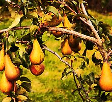 In a Pear Tree by Ross Buchanan