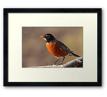 American Robin Resized.... Framed Print