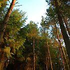Tall Trees by Ross Buchanan