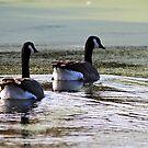 Canada Geese by Teresa Zieba