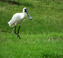 Spoonbill comes to visit by Paul Todd
