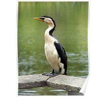 Pied Cormorant 1 Poster