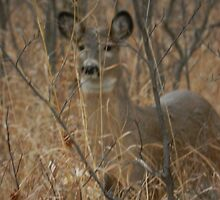 White-tail Doe by Darcy Overland