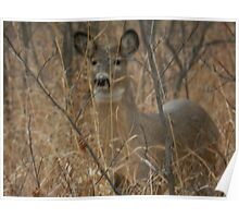White-tail Doe Poster
