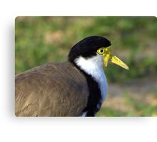 North Head Manly - Masked Lapwing Canvas Print