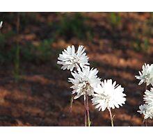 West Australian everlasting daisy Photographic Print
