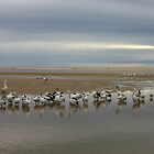 Pelicans at The Entrance NSW Australia by Sandy1949